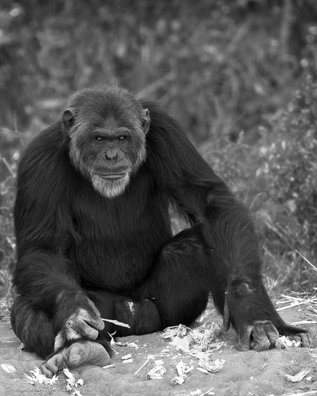 Old Man from Ol Pejeta (Pan troglodytes) - Ol Pejeta, Kenya  Canon 7D + Canon 300mm f2.8L IS