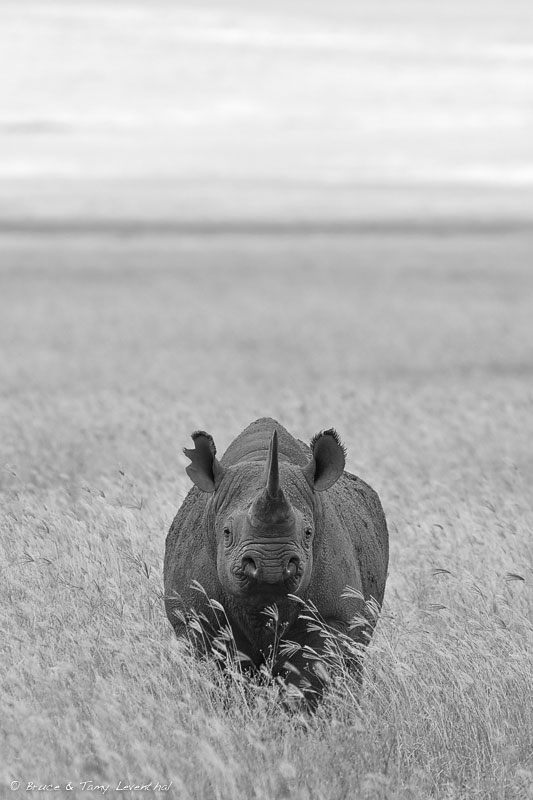 Black Rhinoceros  (Diceros bicornis)  - Ngorongoro Crater, Tanzania  Canon 1D mark ii + Canon 300mm f2.8L IS