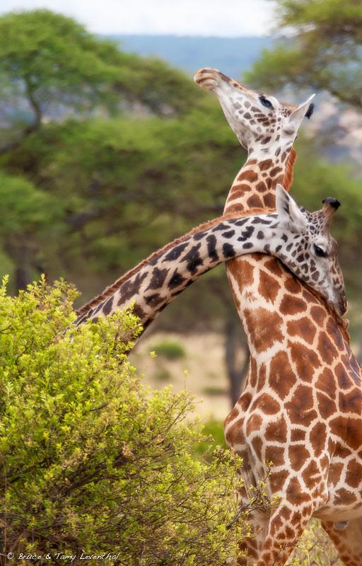 Masai Giraffe(Giraffa camelopardalis)- Tarangiri, Tanzania