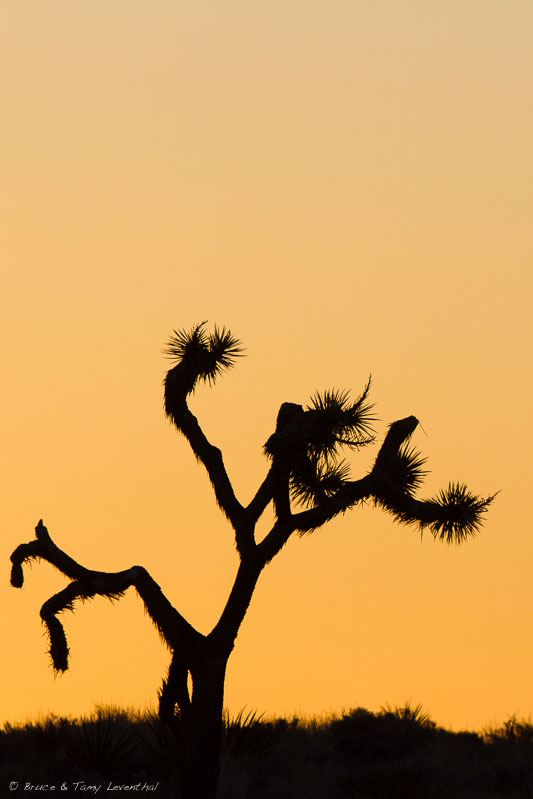 Joshua Tree Sunset  (Yucca brevifolia)  - Joshua Tree National Park