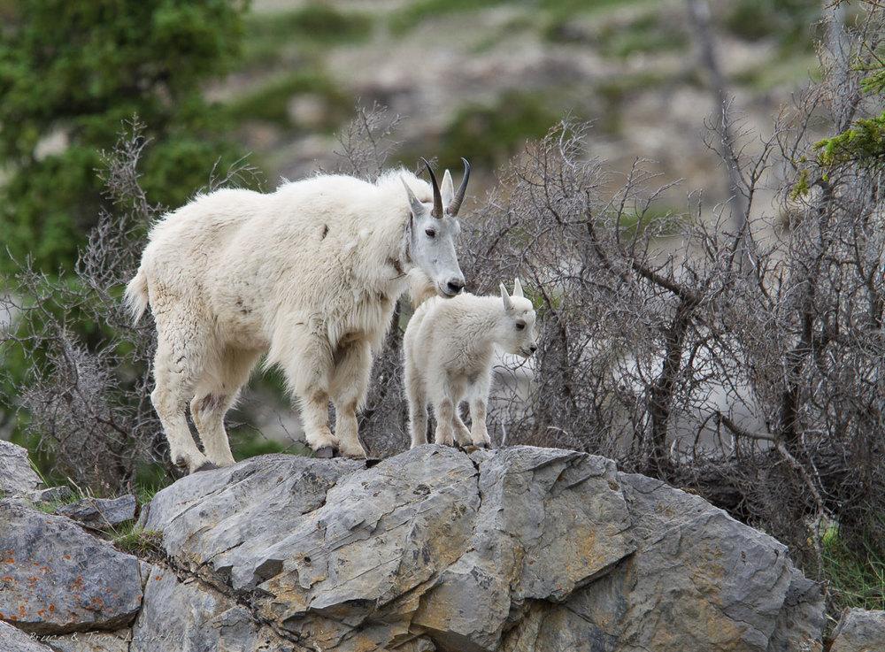 Rocky Mountain goat (  Oreamnos americanus  ) - Jasper NP, Canada    Canon 7D + Canon 300mm f2.8L IS