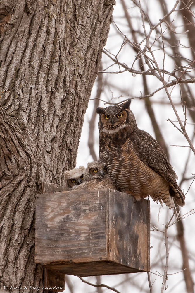 Great Horned Owls in a Box (Bubo virginianus) - East Central Minnesota Nikon D800E + Nikon AFS200-400mm f4.0 @ ISO1600