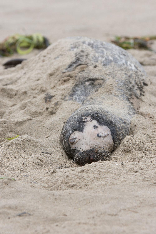 Dead Harbor Seal Pup (Phoca vitulina) - Moss Landing State Beach, California  Nikon D7200 + Nikon 200-400mm f4.0 VR