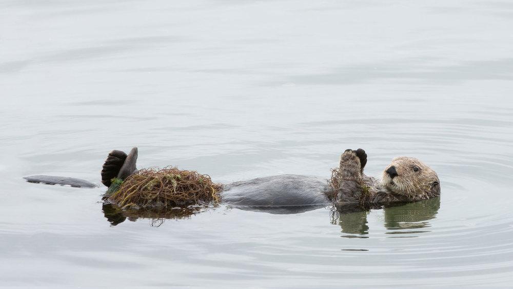 California Sea Otter (Enhydra lutris)- Moss Landing Nikon D7200 + Nikon 200-400mm f4 VR1 @ ISO 400
