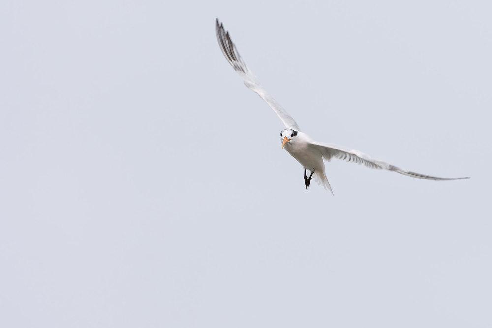 Elegant Tern  (Thalasseus elegans) - Moss Landing, California  Nikon D7200 + Nikon 200-400mm f4 VR1 @ ISO 800