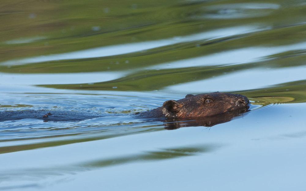 Summer Beaver (Castor canadensis)- St. Croix Area, MN Nikon D7200 + Nikon 200-400mm f4 VR1 @ ISO 800