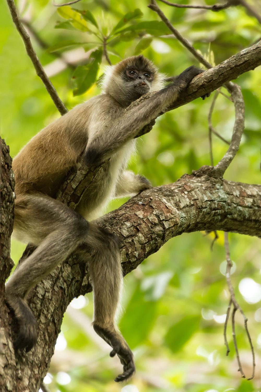 Geoffroy's Spider Monkey (Ateles geoffroyi)- Rincon de La Vieja, Costa Rica Nikon D7200 + Nikon 200-400mm f4 VR1 @ ISO 800