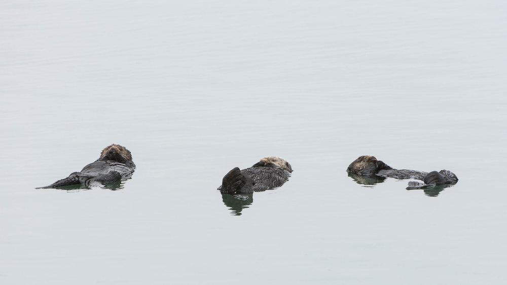 Three Otters  (Enhydra lutris) - Moss Landing  Nikon D7200 + Nikon 200-400mm f4 VR1 @ ISO 400