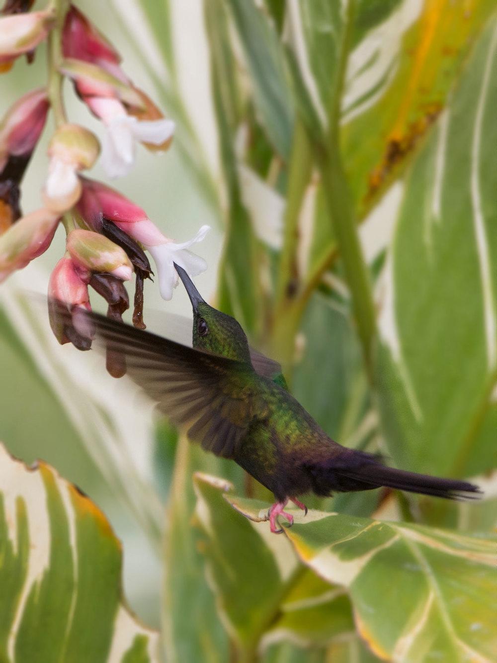 Hummingbird feeding - Rincon de La Vieja, Costa Rica Nikon D7200 + Nikon 200-400mm f4 VR1 @ ISO 400