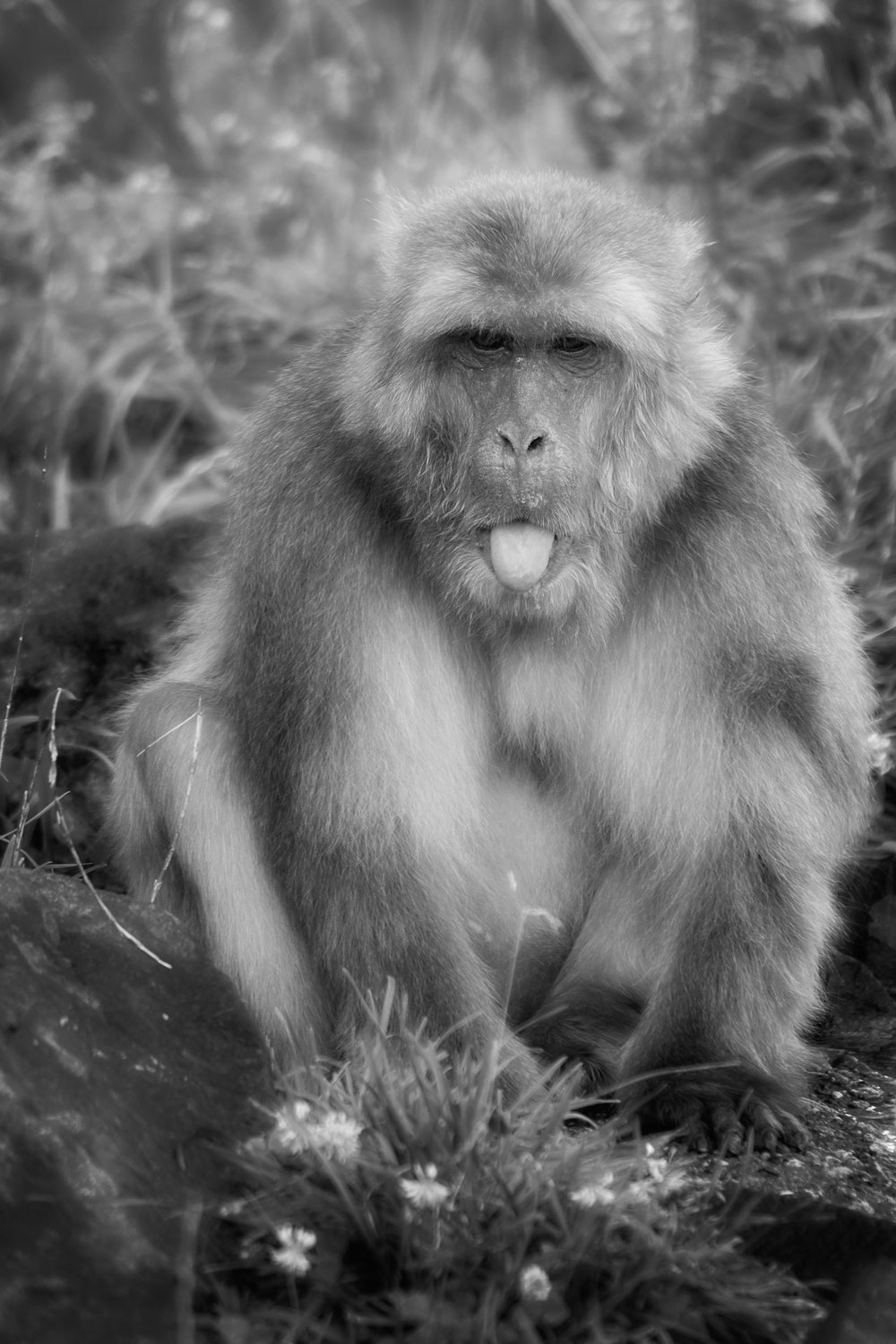 Summe Snow Monkey (Macaca fuscata) in Black and White (c) - Minnesota Zoo Nikon D7200 + Nikon 200-400mm f4 VR1 @ ISO 400
