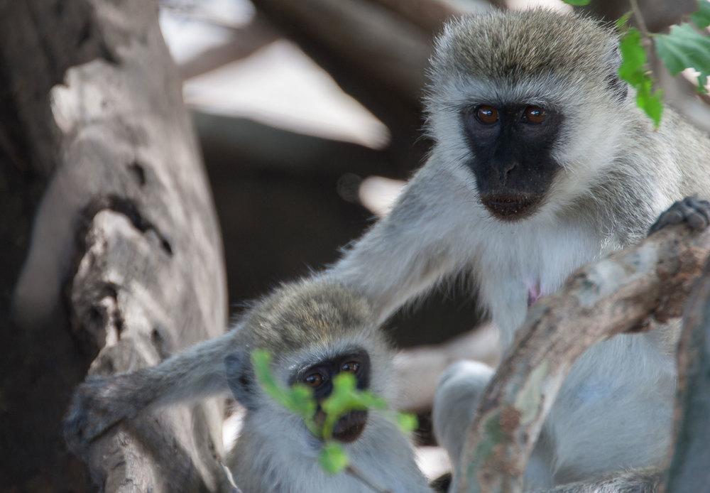 Vervet Monkey (Chlorocebus pygerythrus) - Tanzania, Africa Canon 30D + Sigma 120-300mm f2.8 HSM