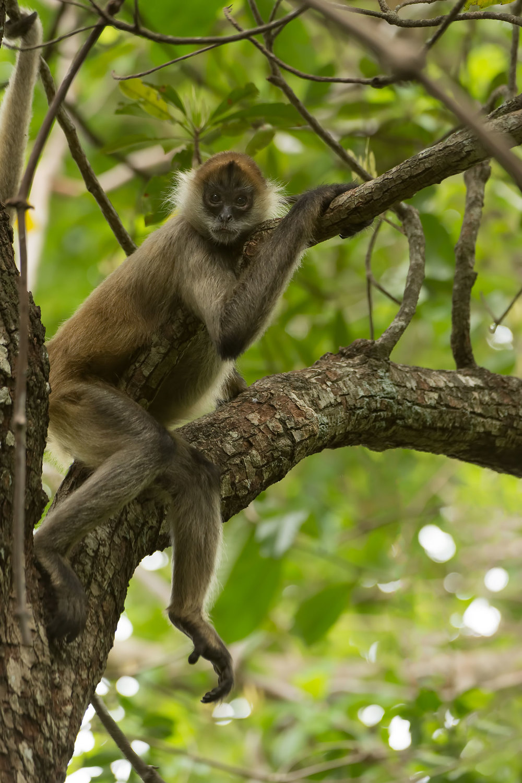 Geoffroy's Spider Monkey (Ateles geoffroyi) - Guanacaste Region, Costa Rica NIkon D7200 + Nikon 200-400mm f4.0 VR1