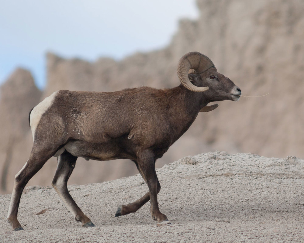 BadlandsBighorn_MG_3787-Edit.jpg