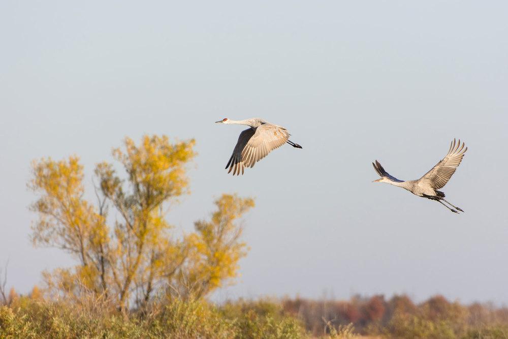 Greater Sandhill Crane (Grus canadensis) : Crex Meadows, WI Nikon D7200 + Nikon 200-400mm f4 VR1