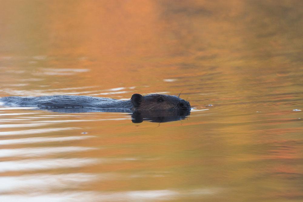 Beaver_BJL5233-Edit.jpg