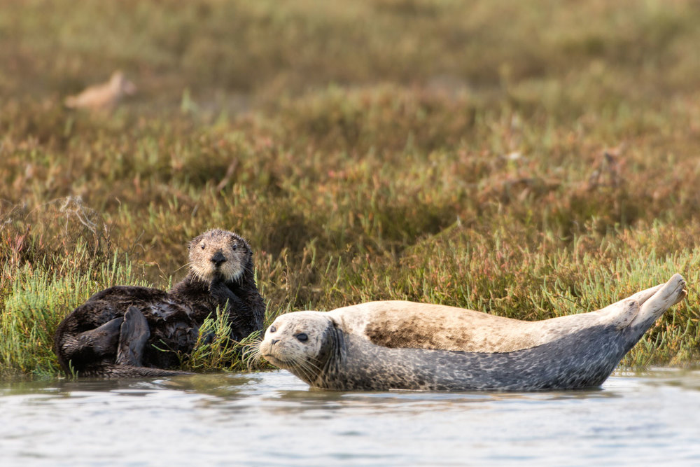 Otter and Seal... a study in comparative morphology