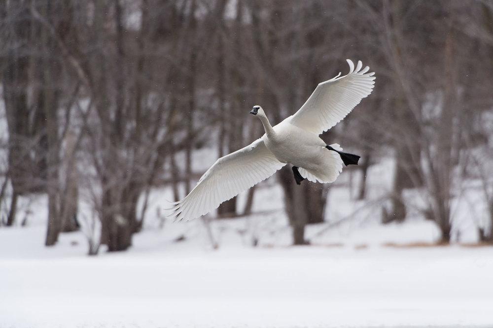 Swan_BJL0068-Edit.jpg