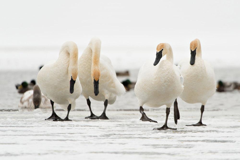 Swan_BJL0128-Edit-Edit.jpg
