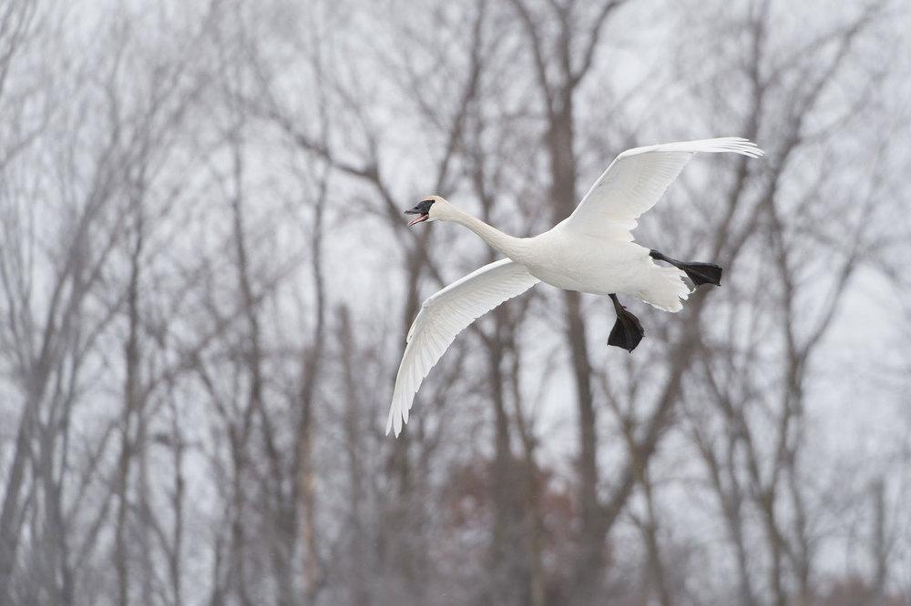 Swan_BJL0188.jpg