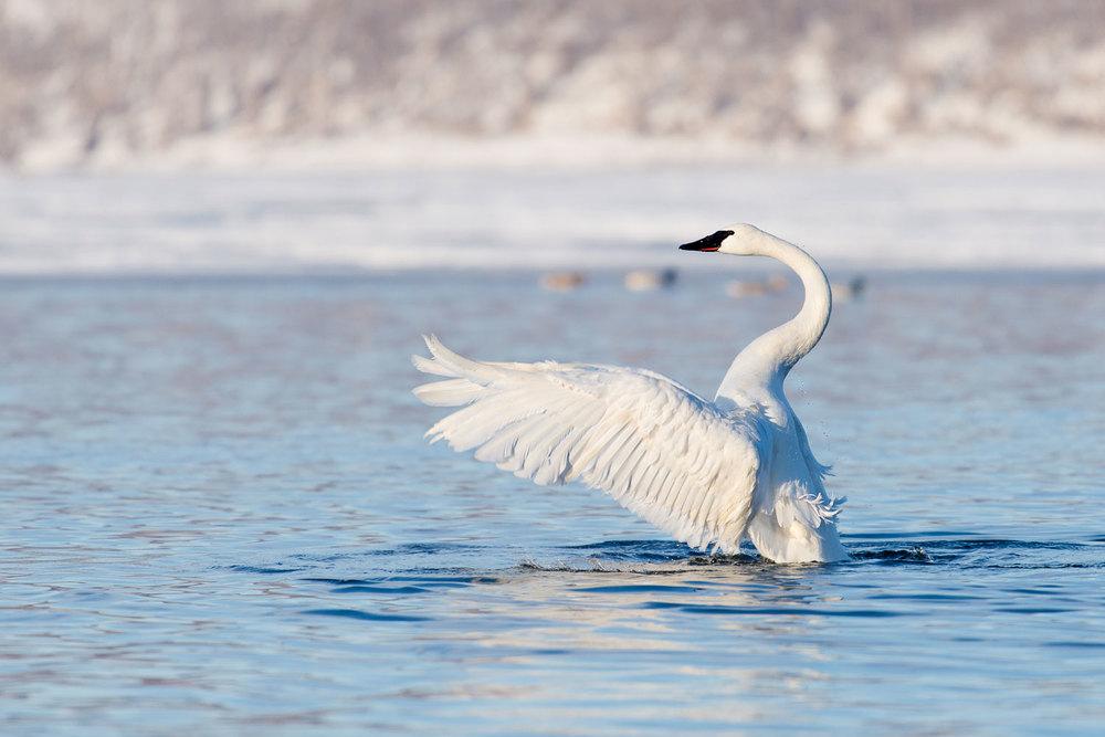 Swan_BTL1791.jpg