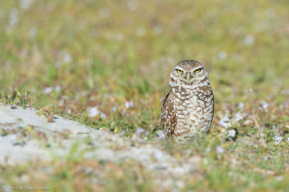 Burrowing Owl 1 ( Athene cunicularia )  Nikon D4 + Nikon 200-400mm f4VR  + TC-E 1.4X (cropped slightly for composition)