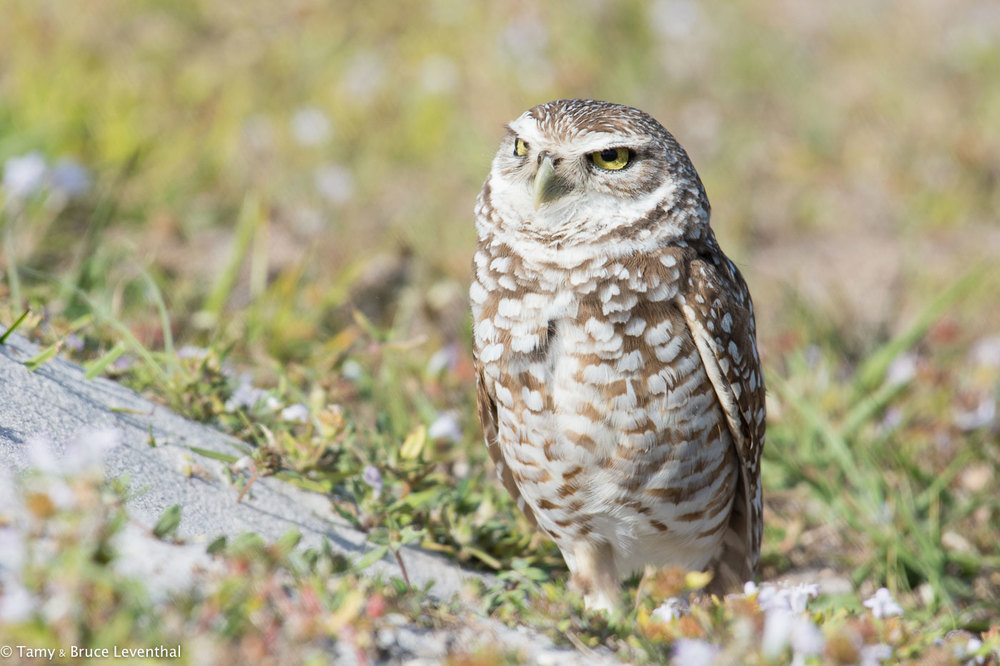 Burrowing Owl 1 ( Athene cunicularia )  Nikon D7100 + Nikon 200-500mm f5.6VR (No Cropping Required)