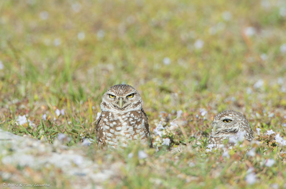 Burrowing Owl 1 ( Athene cunicularia )  Nikon D4 + Nikon 200-400mm f4VR (No Cropping Required)