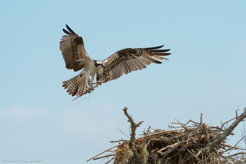 Osprey Nest Building  ( Pandion haliaetus )  Nikon D4 + Nikon 200-400mm f4VR... here AF speed and 10 frames per second help catch the peak moment