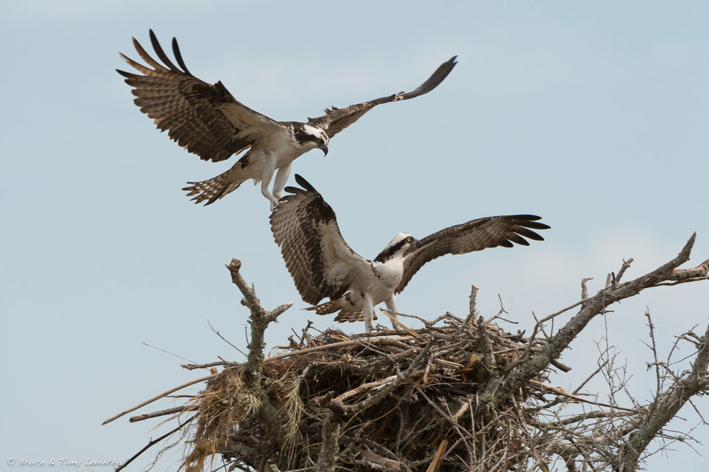 Osprey Nest Building  (Pandion haliaetus) Nikon D4 + Nikon 200-400mm f4VR... here AF speed and 10 frames per second help catch the peak moment