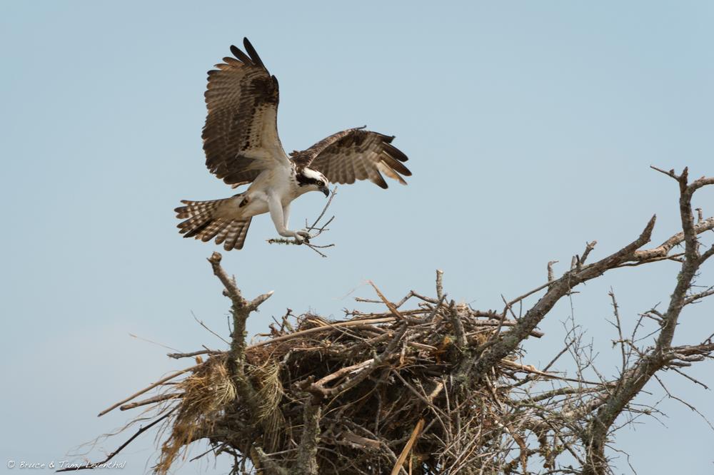 Osprey with nesting material  (Pandion haliaetus)    Nikon D4 + Nikon 200-400mm f4.0VR / TC-E1.4x II
