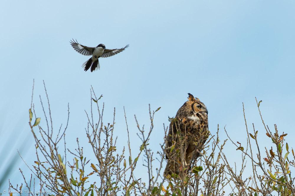 Great Horned Owl  (Bubo virginianus) Ignoring Loggerhead Shrike (Lanius ludovicianus)    Nikon D4 + Nikon 200-400mm f4.0VR / TC-E1.4x II
