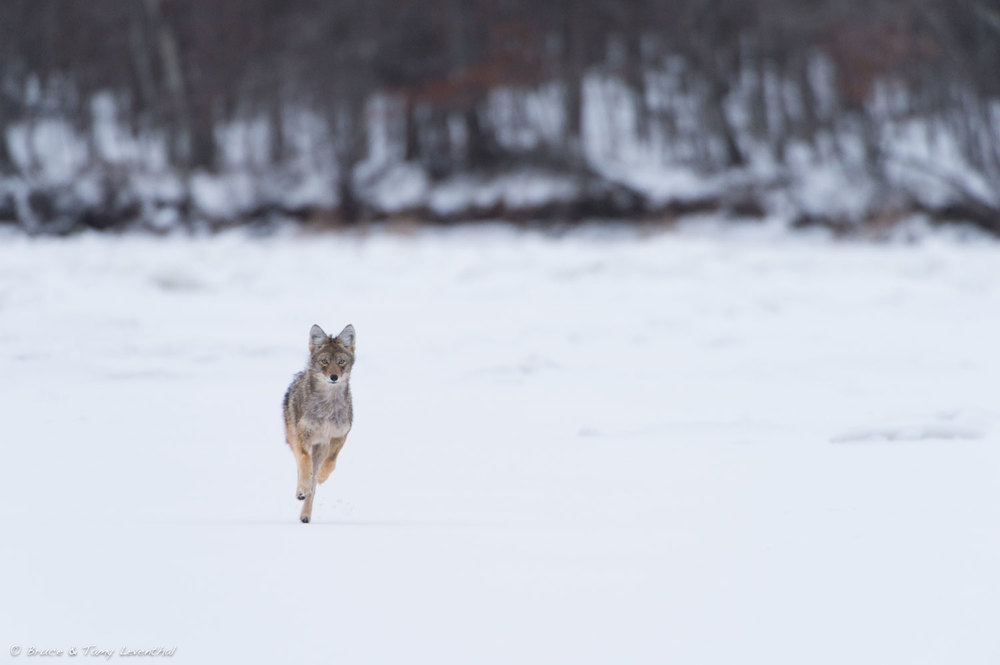 Rush to the Other Side (Canis latrans) Nikon D4 + Nikon 200-400mm f4VR + Nikon TC14EII