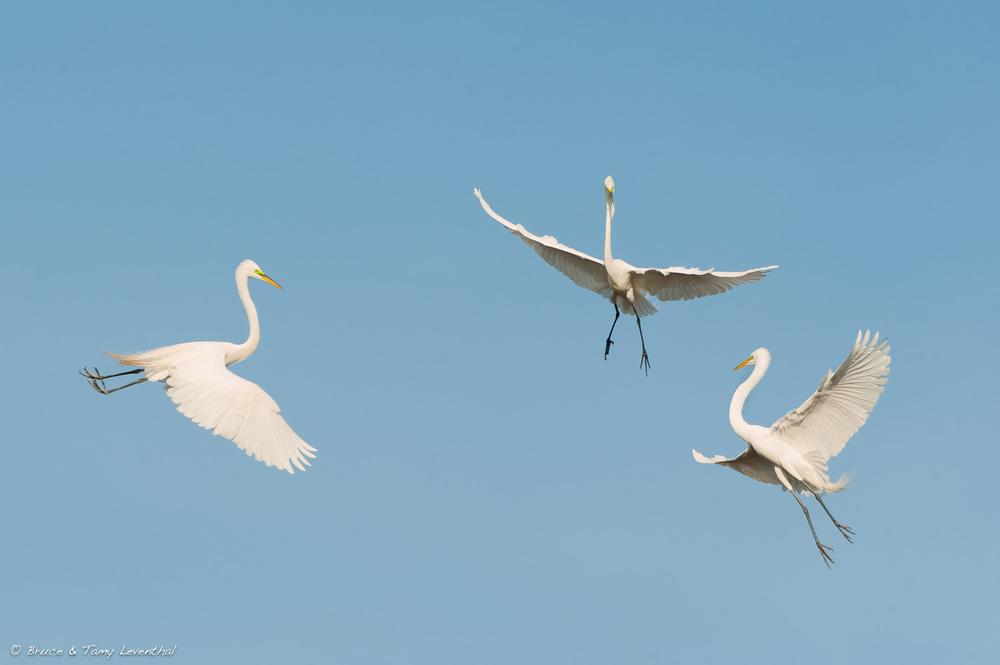 The Aerial Ballet (Ardea alba)