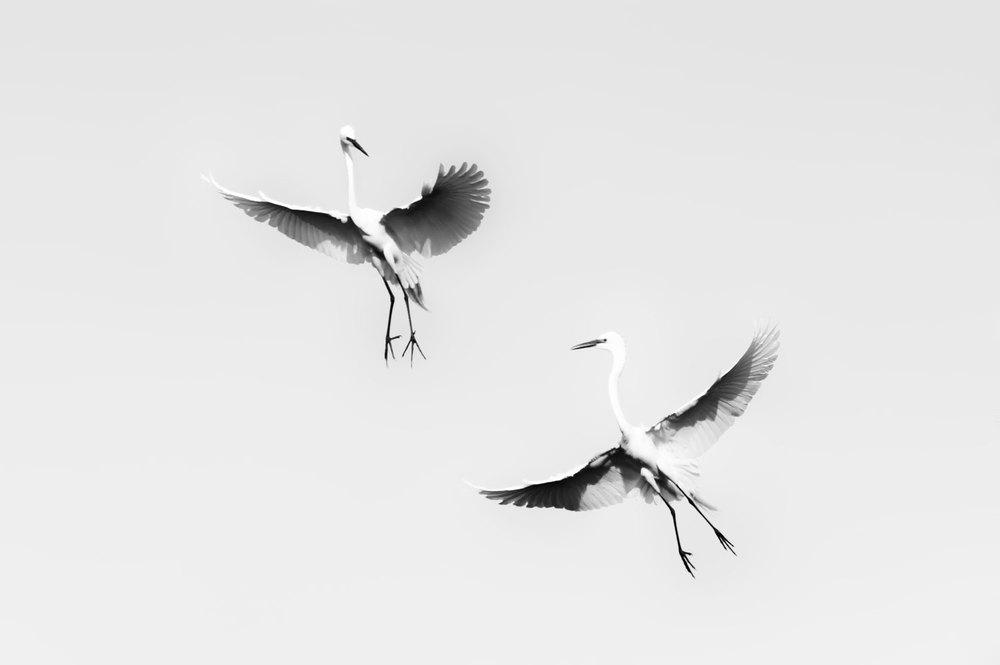 4/16/16 - Egret Dance
