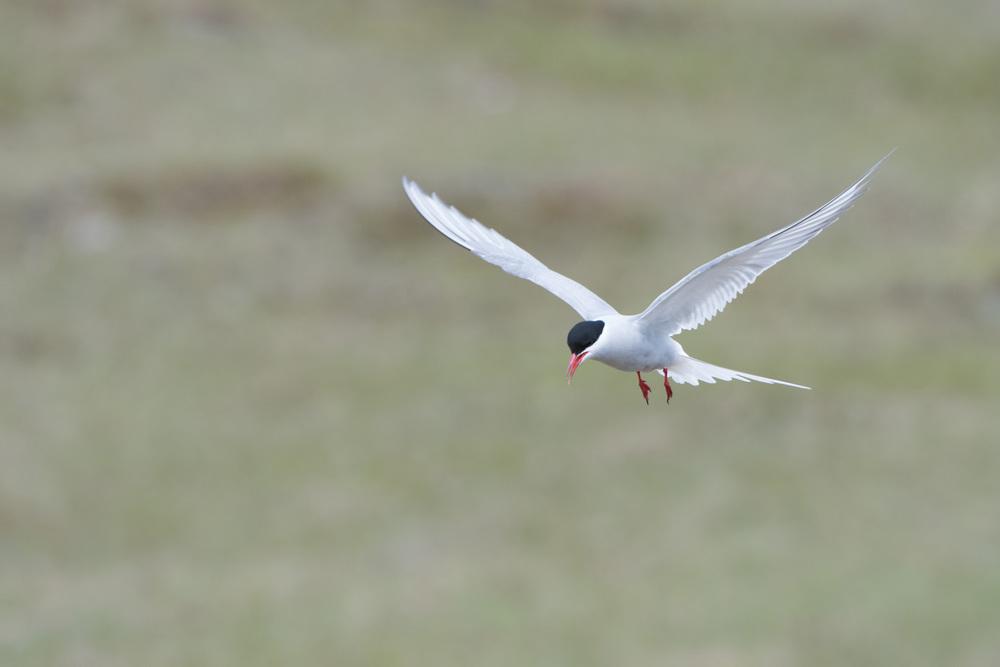 Arctic Tern (Sterna paradisaea) - Iceland Nikon D500 + Nikon 200-400mm f/4 VR1