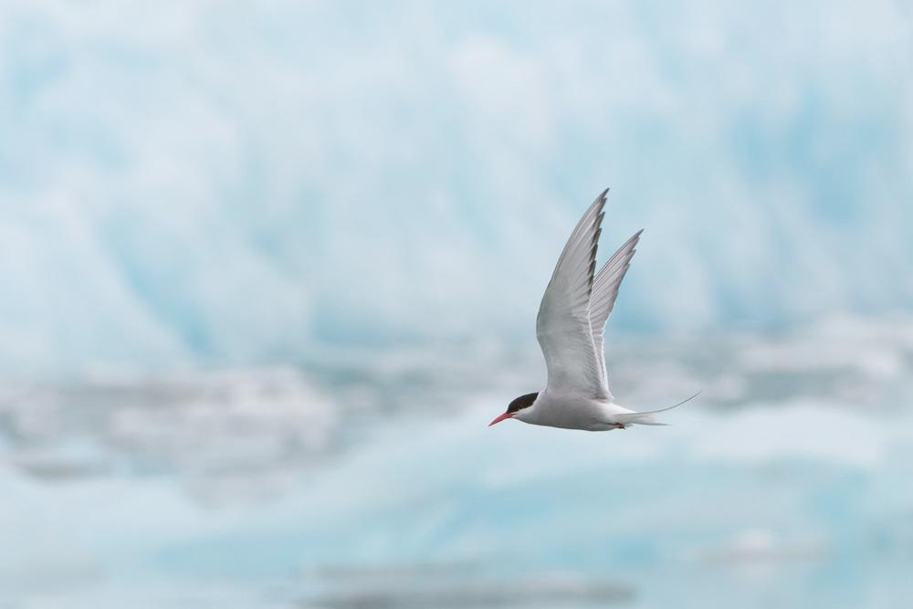 Arctic Tern (Sterna paradisaea) and Jökulsárlón Growler - Iceland