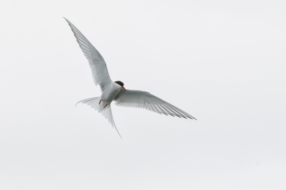 Arctic Tern (Sterna paradisaea) Hovering - Iceland