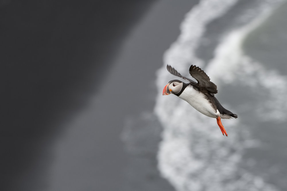 Atlantic Puffin in Flight - Iceland  Nikon D500 + Nikon 200-400mm f/4.0