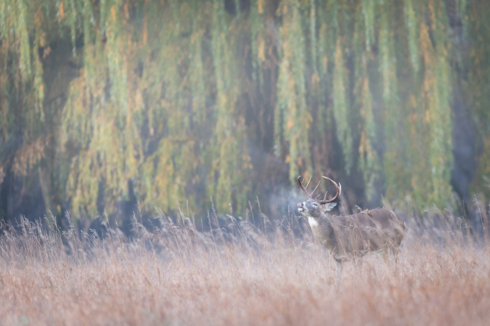 Buck & Willow - November 5th, 2016 Minnesota Nikon D810 + Nikon 300mm f/2.8 AFS-II - Shutter 1/30, Aperture f/3.2, ISO 800