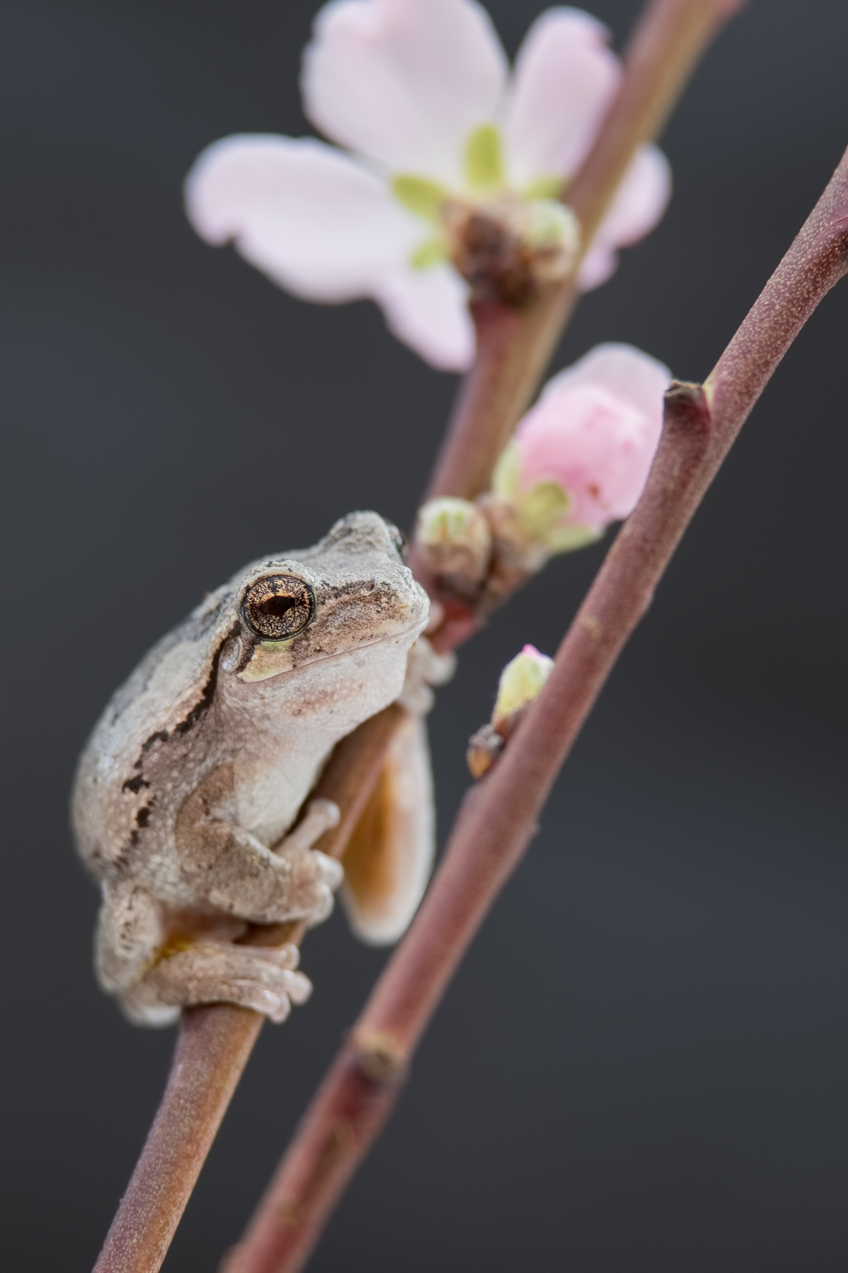 Gray Tree Frog and Cherry Blossoms Nikon D500 and Nikon 200-400mm f/4 VR