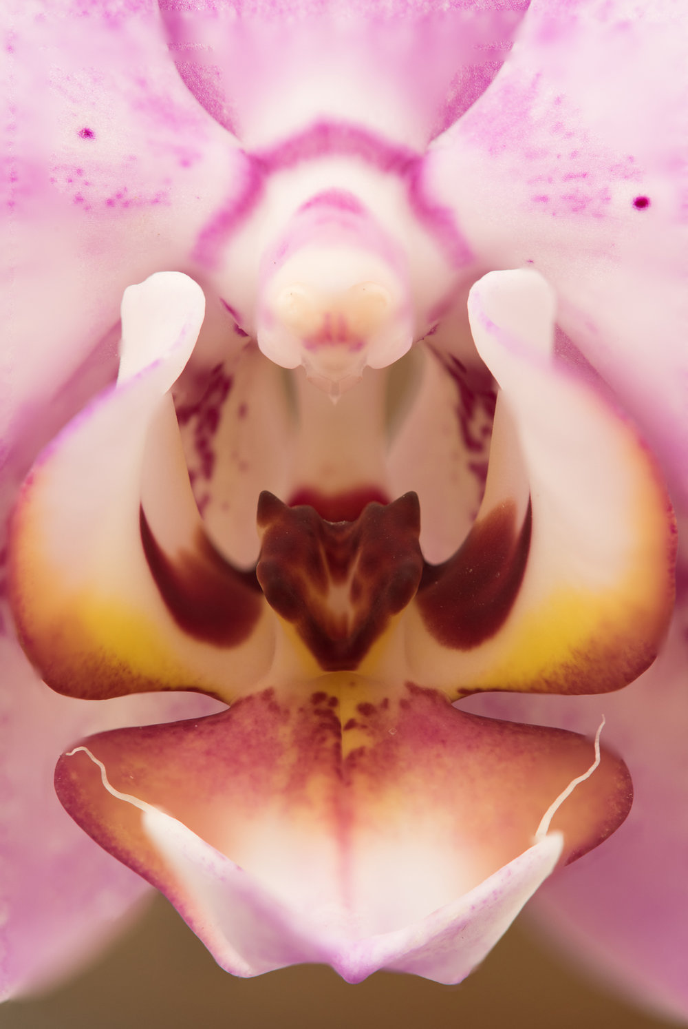 Orchid... Focus Stacking  Nikon D810 and Tamron 180mm f/3.5 macro