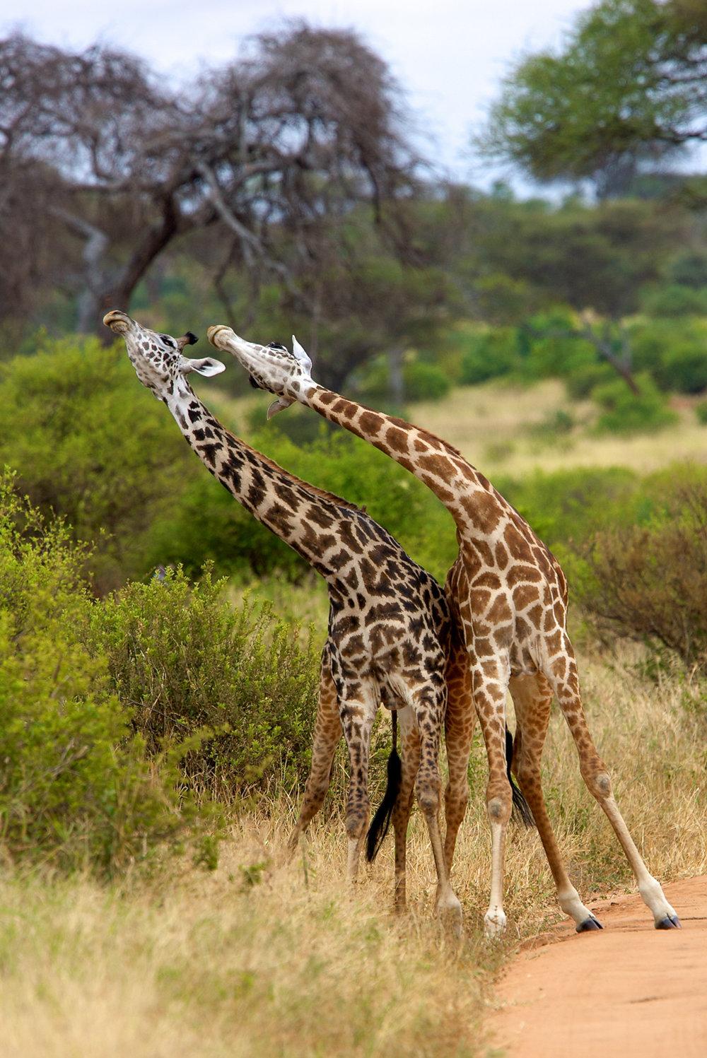 GiraffeMT5_06-21-08_0138.jpg