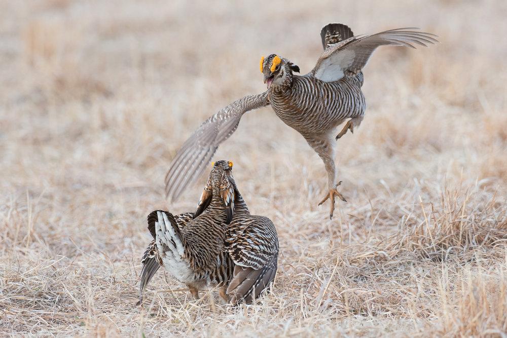Chicken Fight II  (Tympanuchus cupido) - Moorhead, MN    Nikon D500 + Nikon 200-400mm f/4 VR