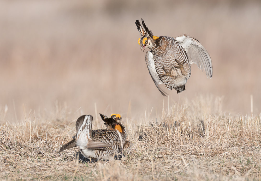 Did you know... the Greater Prairie Chicken is also known as the Pinnated Grouse?