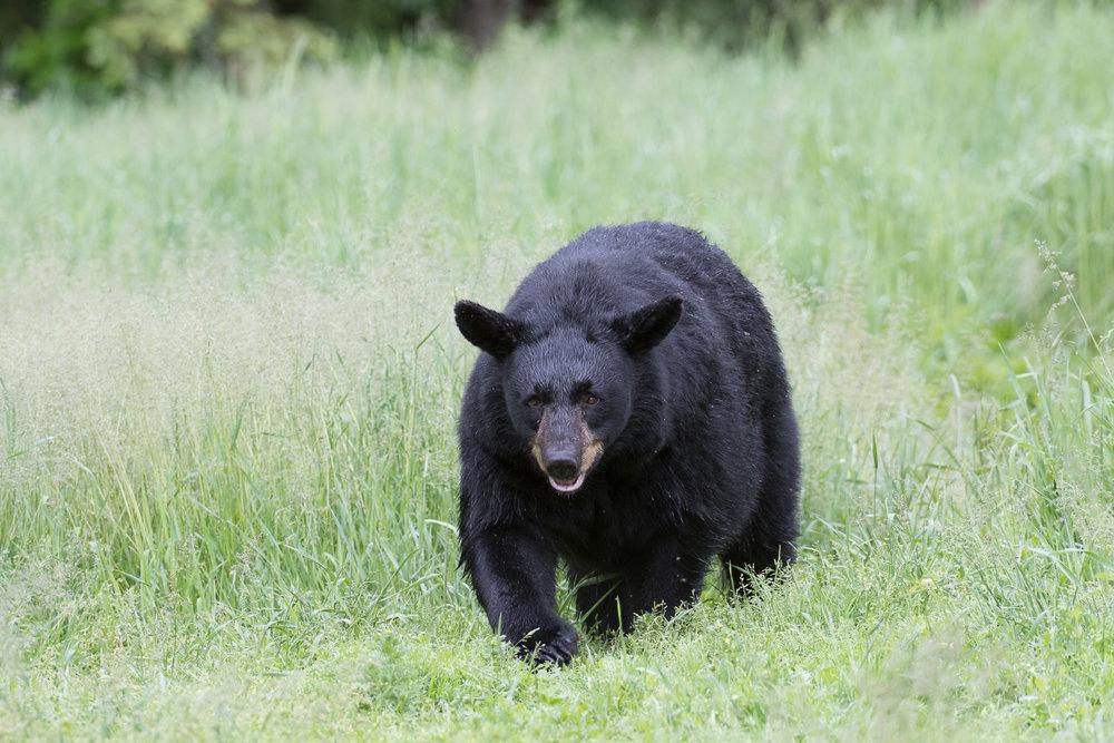 The Bear Walk  (Ursus americanus)    Nikon D500 / Nikon 200-400VR / Induro Tripod & Head / ISO 640 - 1/340 - f/5.6