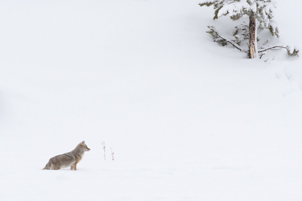 Coyote on White - Yellowstone National Park via West Yellowstone Entrance  Nikon D500 + Nikon 200-400mm f/4 VR shot at 400mm and f/10