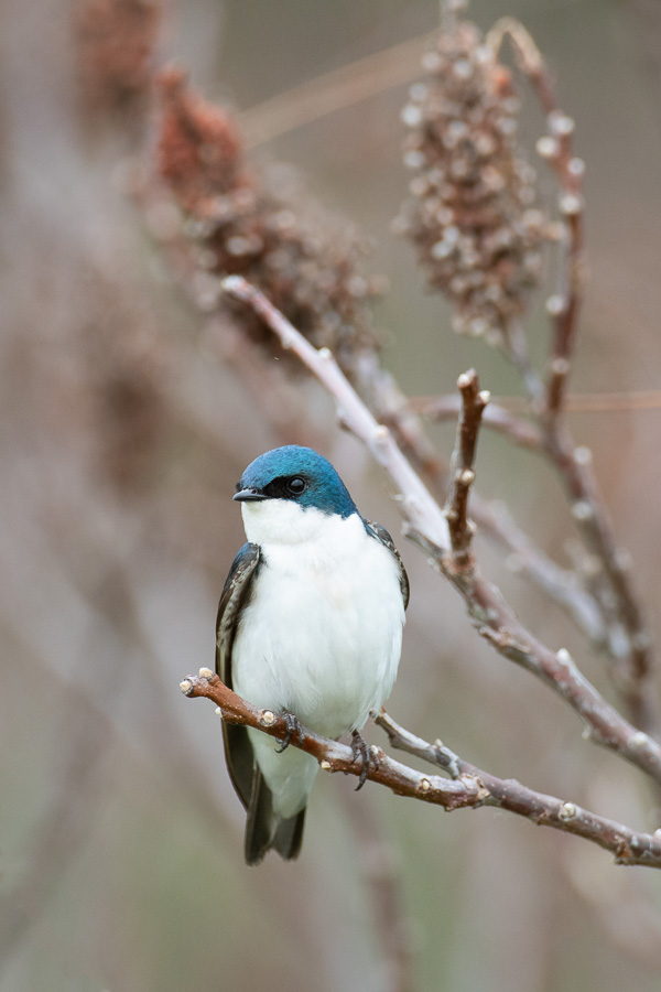 Tree Swallow in Sumac  Nikon D500 + Nikon 200-400mm f4 VR