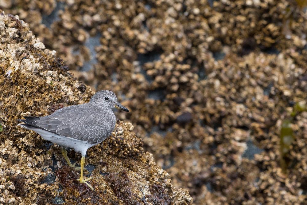 Shorebird_TLL5262.jpg