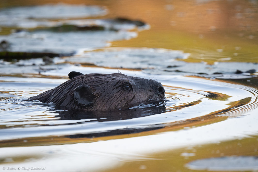 Beaver at Sunrise - Nikon D500 + Nikon 500mm f/5.6E PF ED VR, ISO 1600