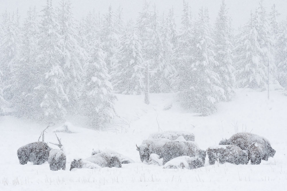 BisonSnow_LEV8296-Edit.jpg
